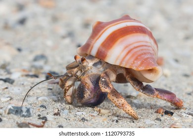 Close up of a beautiful little hermit crab in a stripy shell
