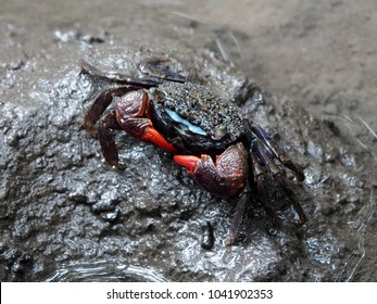 Close up of beautiful mangrove crab feeding on mudflats during low tide. Meder's mangrove crab (Sesarma mederi), a small colorful crab, living on mudflats in mangrove forest in Thailand.