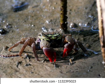 Close up of beautiful mangrove crab feeding on mudflats during low tide. Mangrove crab (perisesarma semperi), a small colorful crab, living on mudflats in mangrove forest in Thailand.