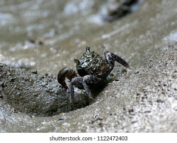 Close up Beautiful Mangrove crab walking and feeding on mudflats during low tide in mangrove forest in Thailand.