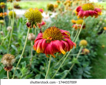 close up of beautiful nepali flowers in the garden - real flower close up
