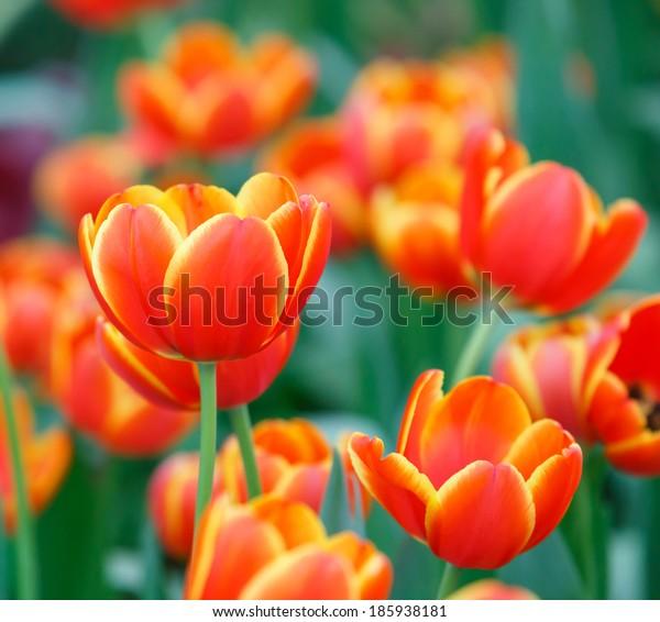 Close up beautiful orange color tulip flower background