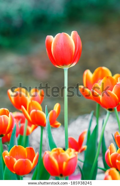 Close up beautiful orange color tulip flower background