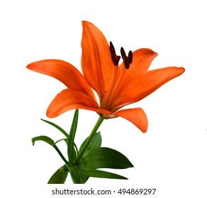 Close up of Beautiful Orange Lily Flower on White Background