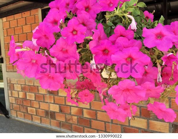 Close Beautiful Pink Common Garden Petunias Stock Photo Edit Now