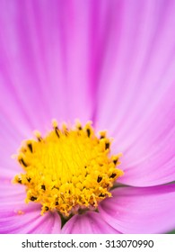 Close up of a beautiful pink daisy flower with yellow middle.