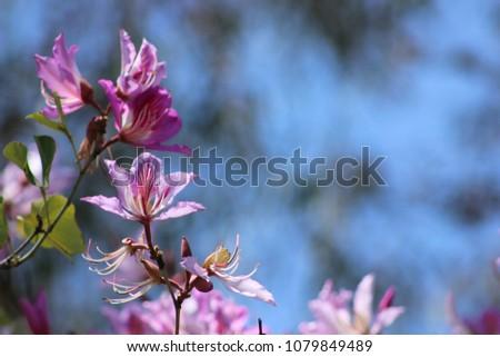 Close Beautiful Pink Flowers Hong Kong Stock Photo Edit Now