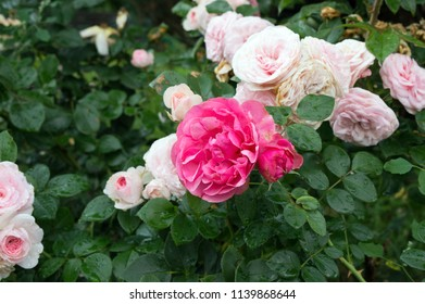 Close up of beautiful pink garden rose blooming in summer park - Shutterstock ID 1139868644