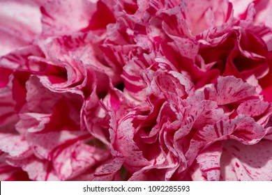 Close up of a beautiful pink Pinball Wizard Dianthus, a colorful romantic background with shallow depth of field and space for text.