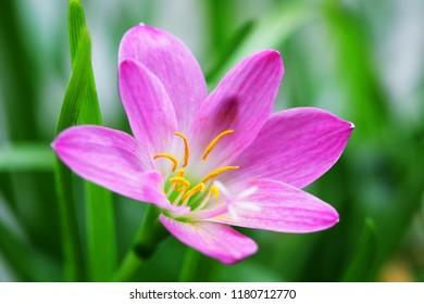 close up of beautiful pink rain lily flower