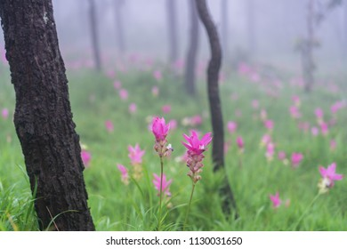 Close up of beautiful pink Siam Tulip in Thai forest,Chaiyaphum,Thailand during summer. It is a colorful flower in front of blurred siam tulips in background. It is good for natural background.