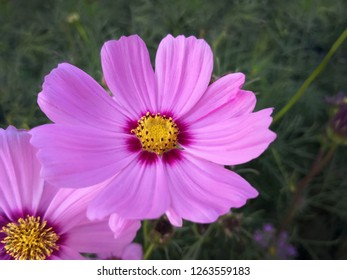 close up beautiful pink sulfur Cosmos Flower,The background image of the colorful flowers, background nature,Sulfur Cosmos flower with beautiful pastures with morning sun.,Thailand.
