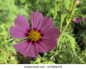 close up beautiful pink sulfur Cosmos Flower with burl background,background nature ,Sulfur Cosmos flower with beautiful pastures with morning sun,Thailand.