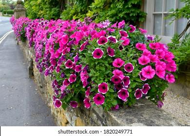 cierre de hermosas flores de petunia rosas y blancas en cestas en la pared de piedra afuera al sol de otoño