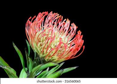 Close up of a beautiful protea pincushion