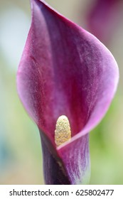 Close up of beautiful purple  Arum Lily