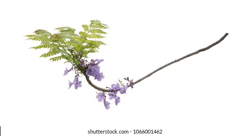 Close up of beautiful purple jacaranda trees, isolated on white background, a species with an inflorescence at the tip of the purple flower, is native to South America. clipping path