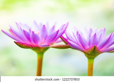 close up beautiful purple lotus , water lily flower in pond