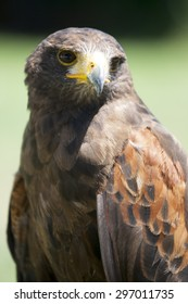 Close up of a beautiful red Hawk .