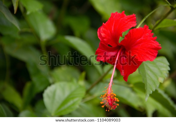 close up of Beautiful red Hibiscus flower in the garden.