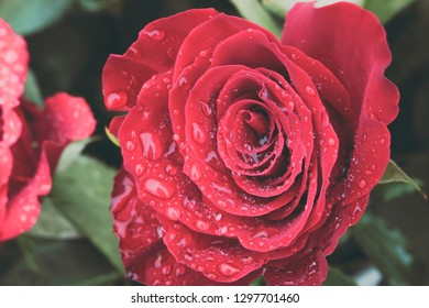 Close up of beautiful red rose in full bloom covered in water droplets from morning dew. Love and romantic concept.