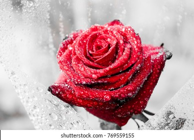Close up of beautiful red rose on green branch with water drops. Red rose in the rain on garden. Artistic image of colorful red rose for greeting cards. Valentine's background with red rose in rain.