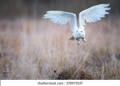 Close up beautiful Snowy owl Bubo scandiacus, white owl with black spots and bright yellow eyes flying directly at camera over winter meadow lit by evening sun,outstretched wings, blurred background.