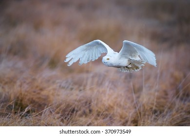 Close up beautiful Snowy owl Bubo scandiacus, white owl with black spots and bright yellow eyes flying over winter meadow lit by evening sun,dry red colored grass, warm colors, blurred background.