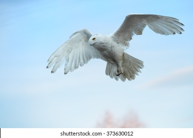 Close up beautiful Snowy owl Bubo scandiacus, white owl with black spots and bright yellow eyes flying over blue, winter sky. Outstretched wings and tail, focused on prey on ground. Blurred background