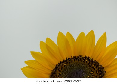 Close up beautiful sunflower blooming, Sunflower oil improves skin health ,Sunflower natural background