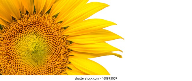 Close up beautiful sunflower with white background.