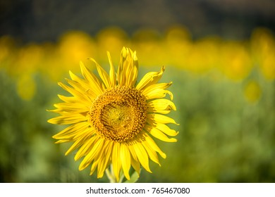Close up beautiful sunflowers with background field and feel fresh.