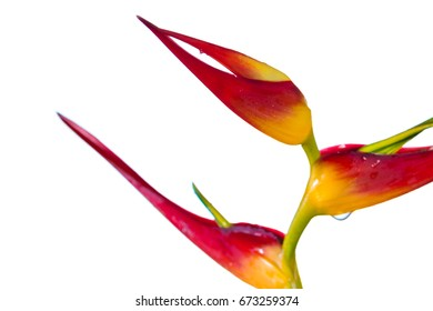 close up of a beautiful tropical Heliconia latispatha with vivid colors isolated on a white background
