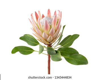 close up of a beautiful tropical king protea flower (protea cynaroides) isolated over a white background
