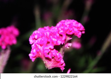 close up of beautiful unusual Exotic Pink Celosia( woolflower, cockscomb) Flowers, Celosia Argentea Purple, Celosia Argentea Linn,flame like flower heads, Isolated On dark Background,night photography