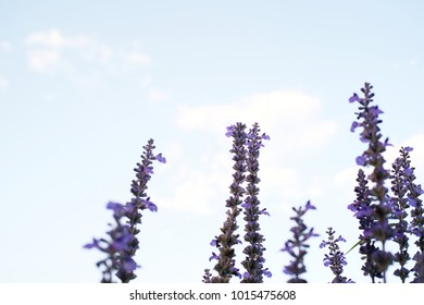 Close up of beautiful violet lavender flowers with blue sky background.  selective focus
