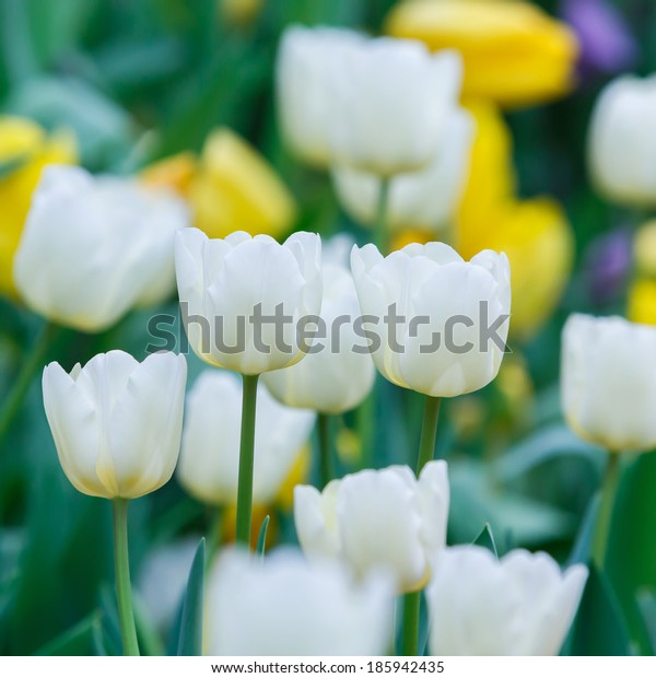 Close up beautiful white color tulip flower background