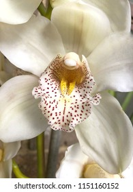 Close up of beautiful White Orchid