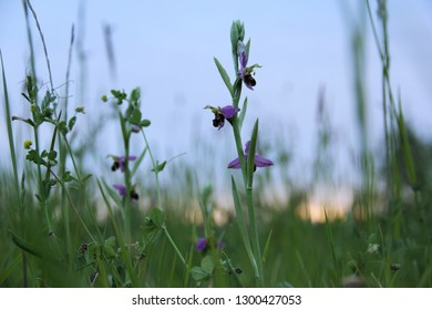 close up of beautiful wild bee orchid in a natural field at sunset in France