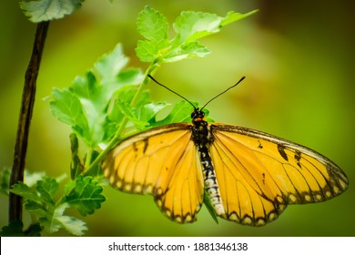 Close up of beautiful   yellow coaster Butterfly. ( acraea issoria )