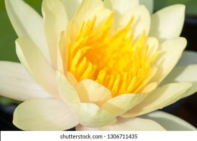 Close up of beautiful yellow lotus blossom.