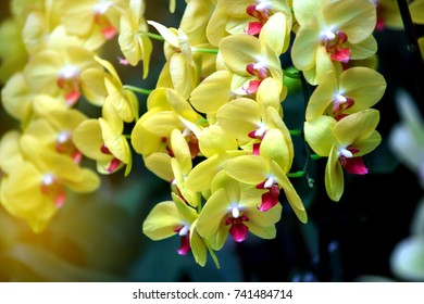 Close up the beautiful yellow orchid.It is in phalaenopsis species.A very successful cut flower plant.