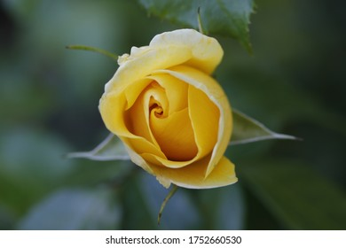 Nahaufnahme einer schönen gelben Rose, nur blühend