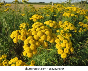 close up beautiful yellow Tansy (Tanacetum vulgare) in country side of Germany. It is also known as common tansy, bitter buttons, cow bitter, or golden buttons.