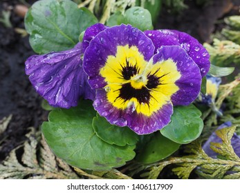 Close up of beautiful yellow and violet, purple pansies flower wet blossom with water droplets on petals. Edible Viola tricolor Pansy blooming in nature. Popular cultivated flowers is in rich colors.
