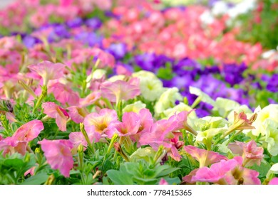 Close up a bed of multicolored petunia flower blossom in a botanical garden at the park with day light