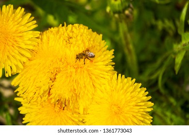 Close up of bee gathering pollen on top of a dandellion flower