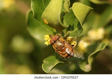 Close up of a bee mimic fly, Eristalinus taeniops, enjoying nectar from indigenous flowers.