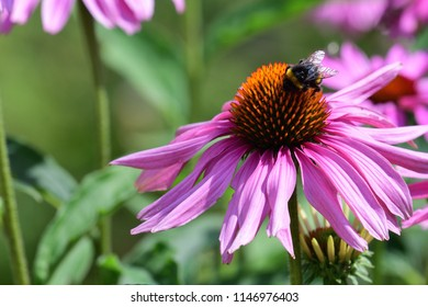 Close up of a bee on  an echinacea flower