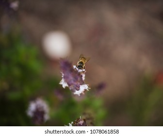 Close up of bee on lavender flower